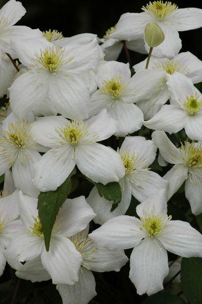 Clematis montana 'Elten'