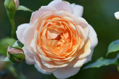 Rosier Elizabeth Stuart