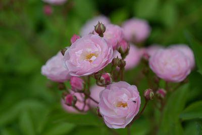 Rosier Heavenly Pink