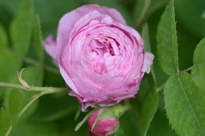 Rosier Rose des peintres