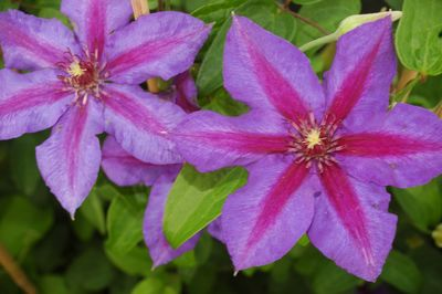 Clematis 'Mrs N. Thompson'