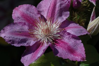 Clematis 'Sealand Gem'