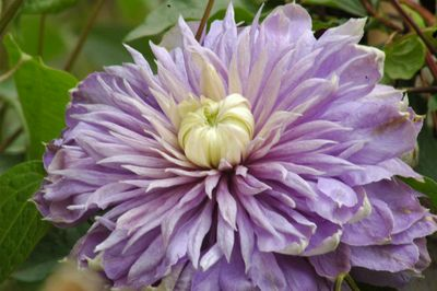 Clematis 'Blue Light PBR'