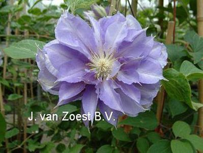 Clematis 'Yvette Houry'