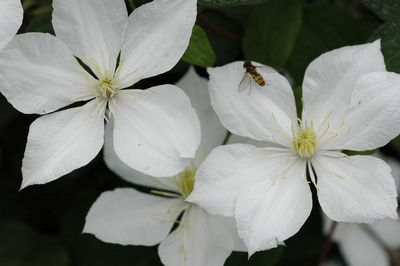Clematis 'The Bride'