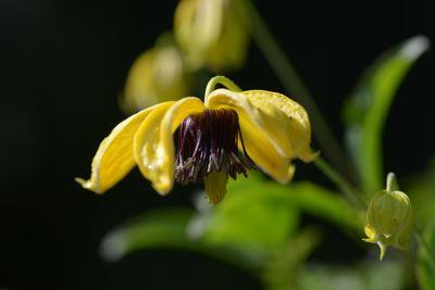 Clematis tangutica 'Golden Harvest'