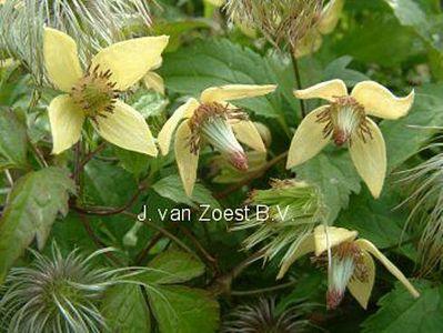 Clematis 'serratifolia'