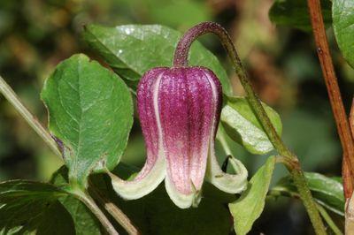 Clematis 'viorna'