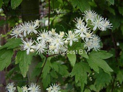 clematis 39 apiifolia 39 online bestellen bei schmid gartenpflanzen. Black Bedroom Furniture Sets. Home Design Ideas