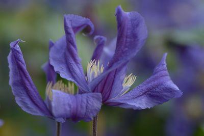 Clematis BLUE PIROUETTE 'Zobluepi' PBR