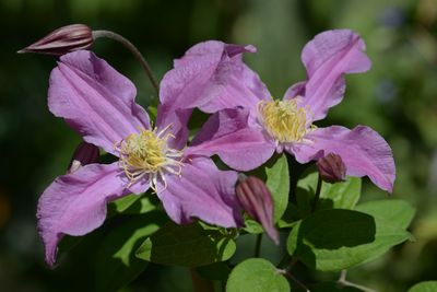 Clematis INSPIRATION® 'Zoin' PBR
