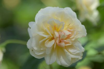 Rosier Desprez à Fleurs Jaunes