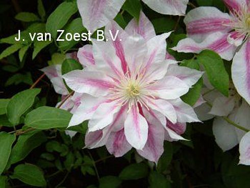 Clematis clematis 39 andromeda 39 online kaufen for Gartenpflanzen versand