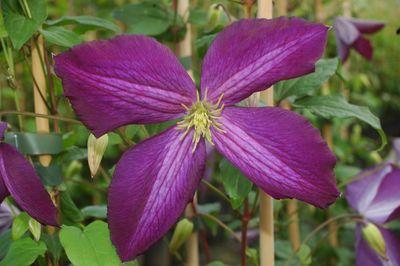 clematis 39 jackmanii purpurea 39 online bestellen bei schmid gartenpflanzen. Black Bedroom Furniture Sets. Home Design Ideas