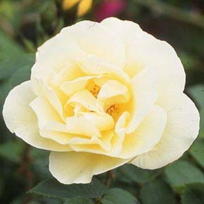 Rosier Yellow Dagmar Hastrup