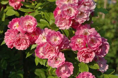 Rosier Mrs. F.W. Flight