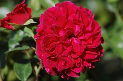 Rosier Red Leonardo da Vinci