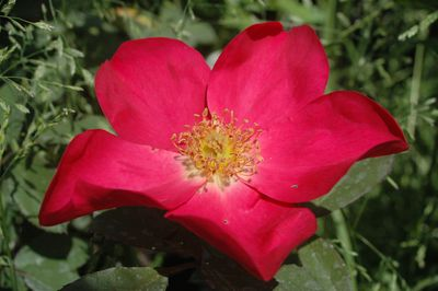 Rosier Rose of Picardy