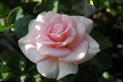 Rosier Rosenmädel