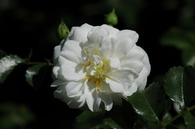 Rosier Snowflake