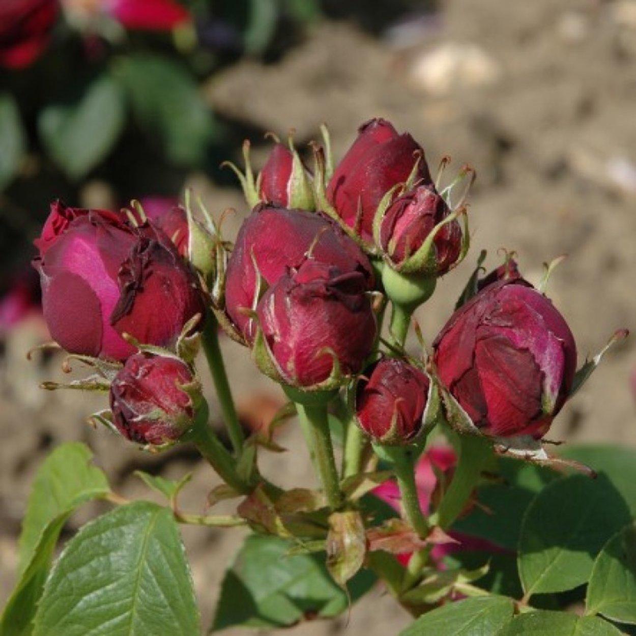 роза черный принц фото описание протарас как курорт