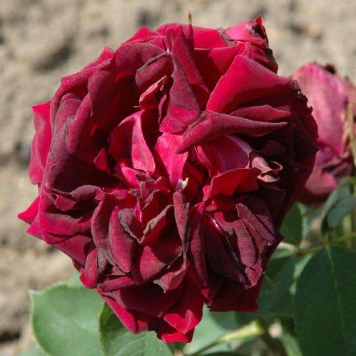 роза черный принц фото описание туристов поездке рим