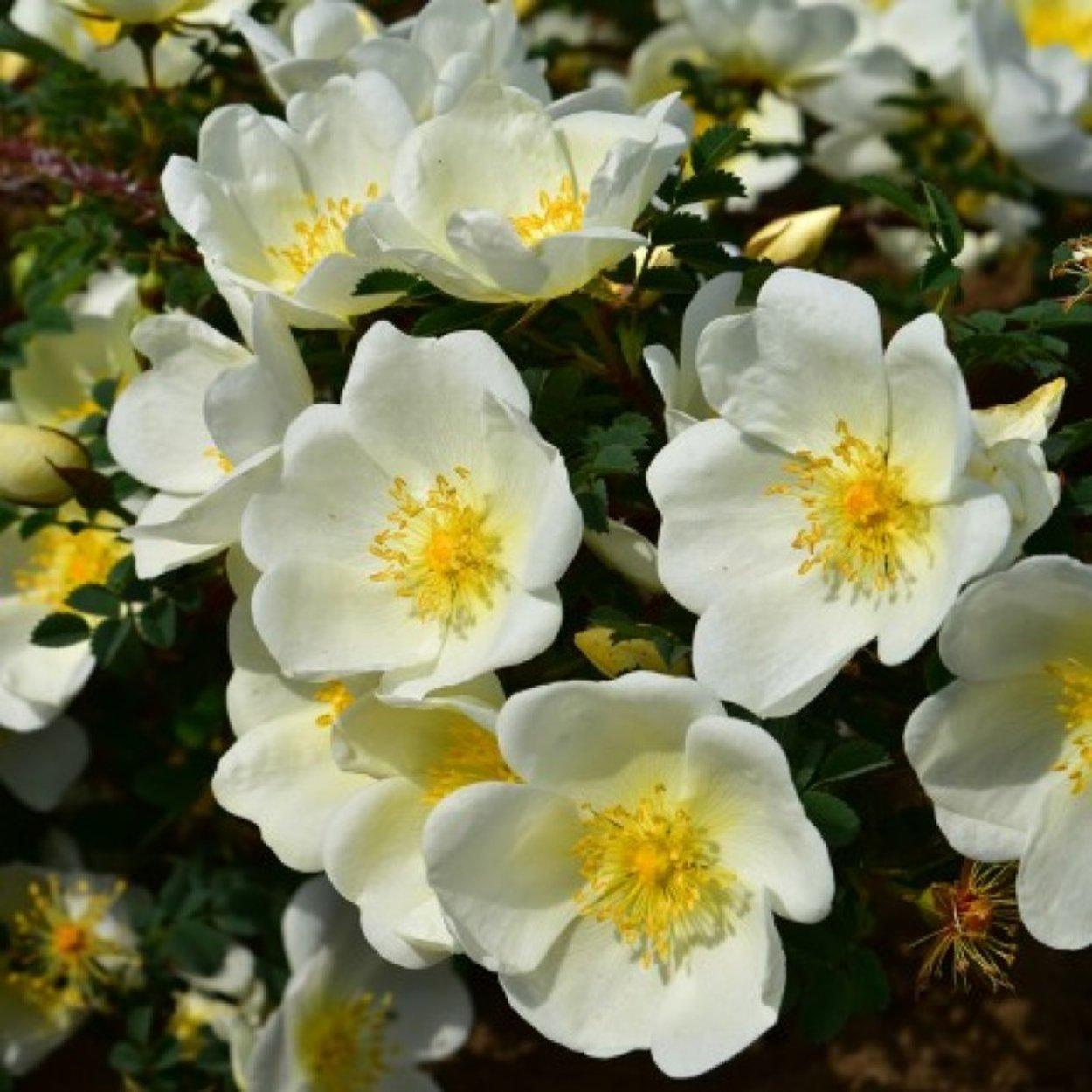 Rose  zartgelb Rosa pimpinellifolia Bibernell