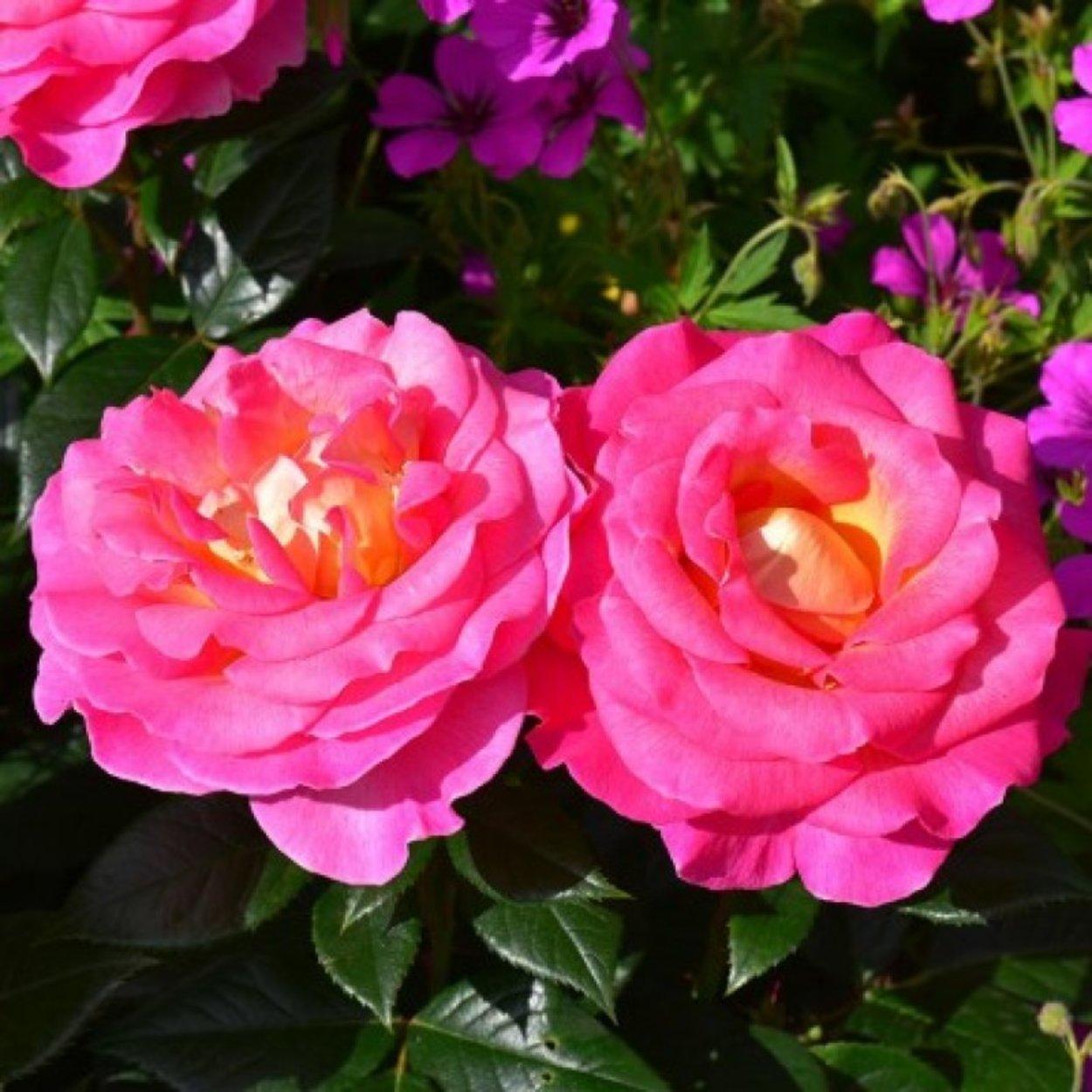 pink paradise rose  rosen  kaufen