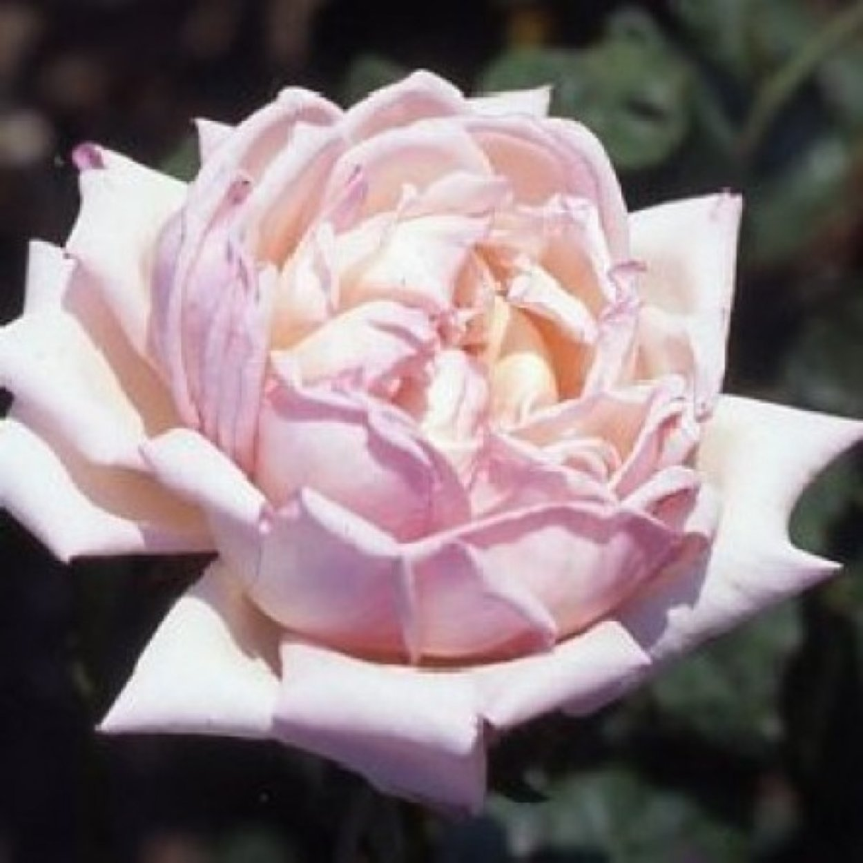 tipsy imperial concubine rose  rosen  kaufen