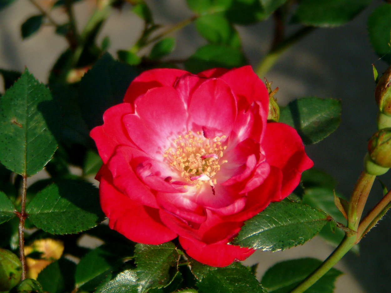 Rose Fairy Red 92 Rosen Bei Schmid Gartenpflanzen Online Kaufen