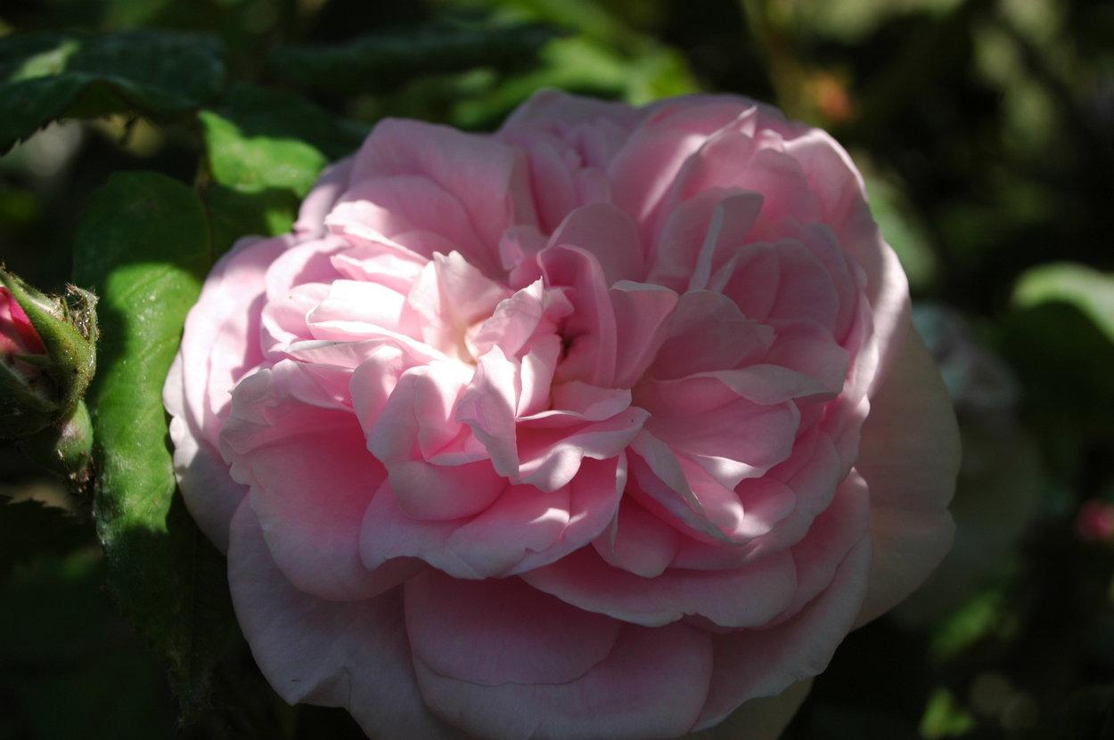 rose 39 fantin latour 39 rosen bei schmid gartenpflanzen online kaufen. Black Bedroom Furniture Sets. Home Design Ideas