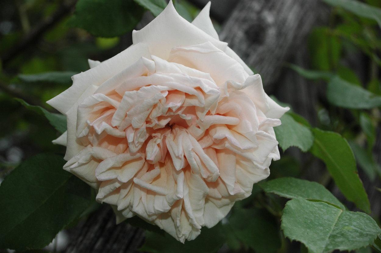 празднике роза жуа де вивр фото избавиться чувства