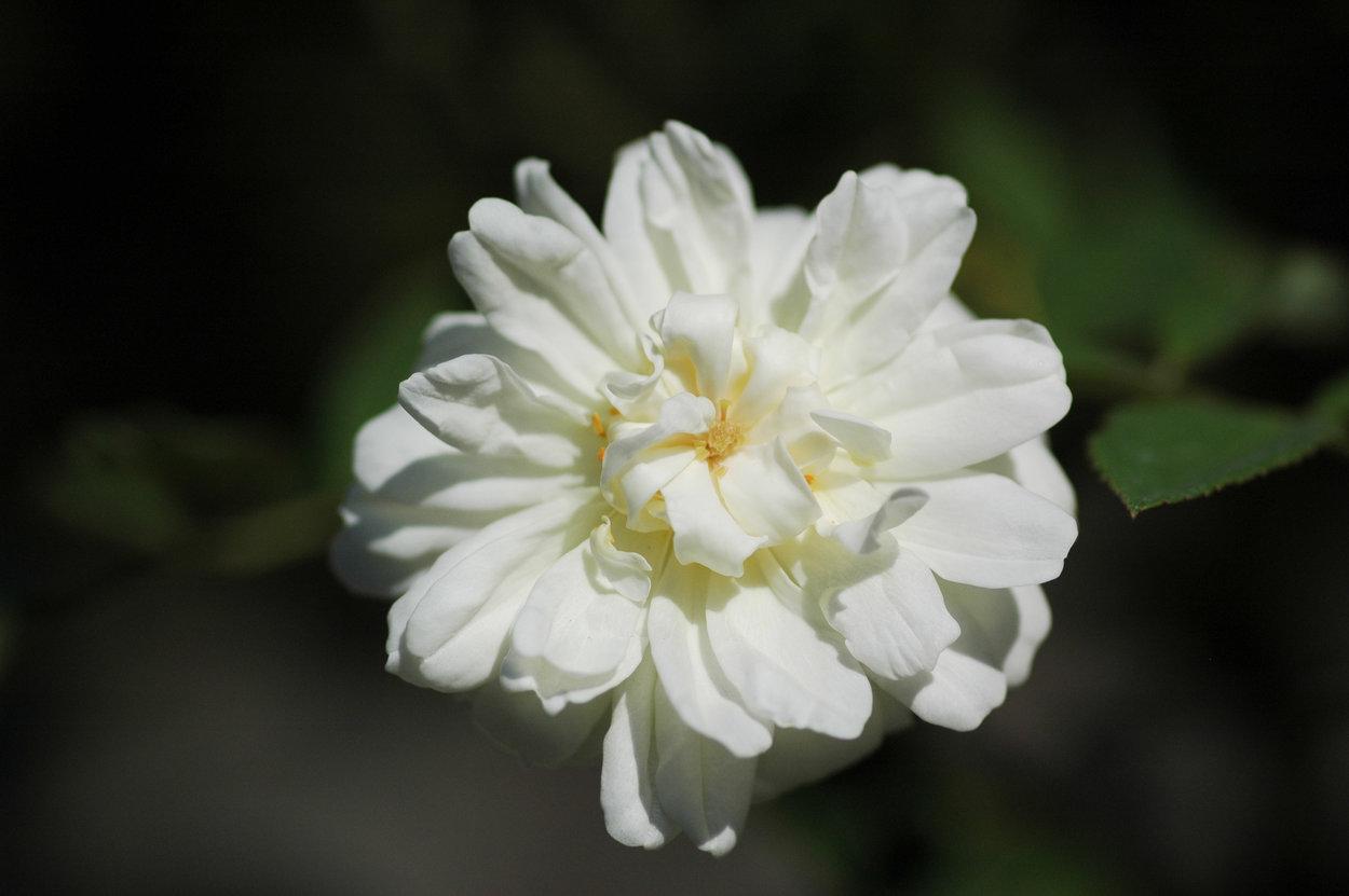 rose 39 malvern hills 39 rosen bei schmid gartenpflanzen online kaufen. Black Bedroom Furniture Sets. Home Design Ideas