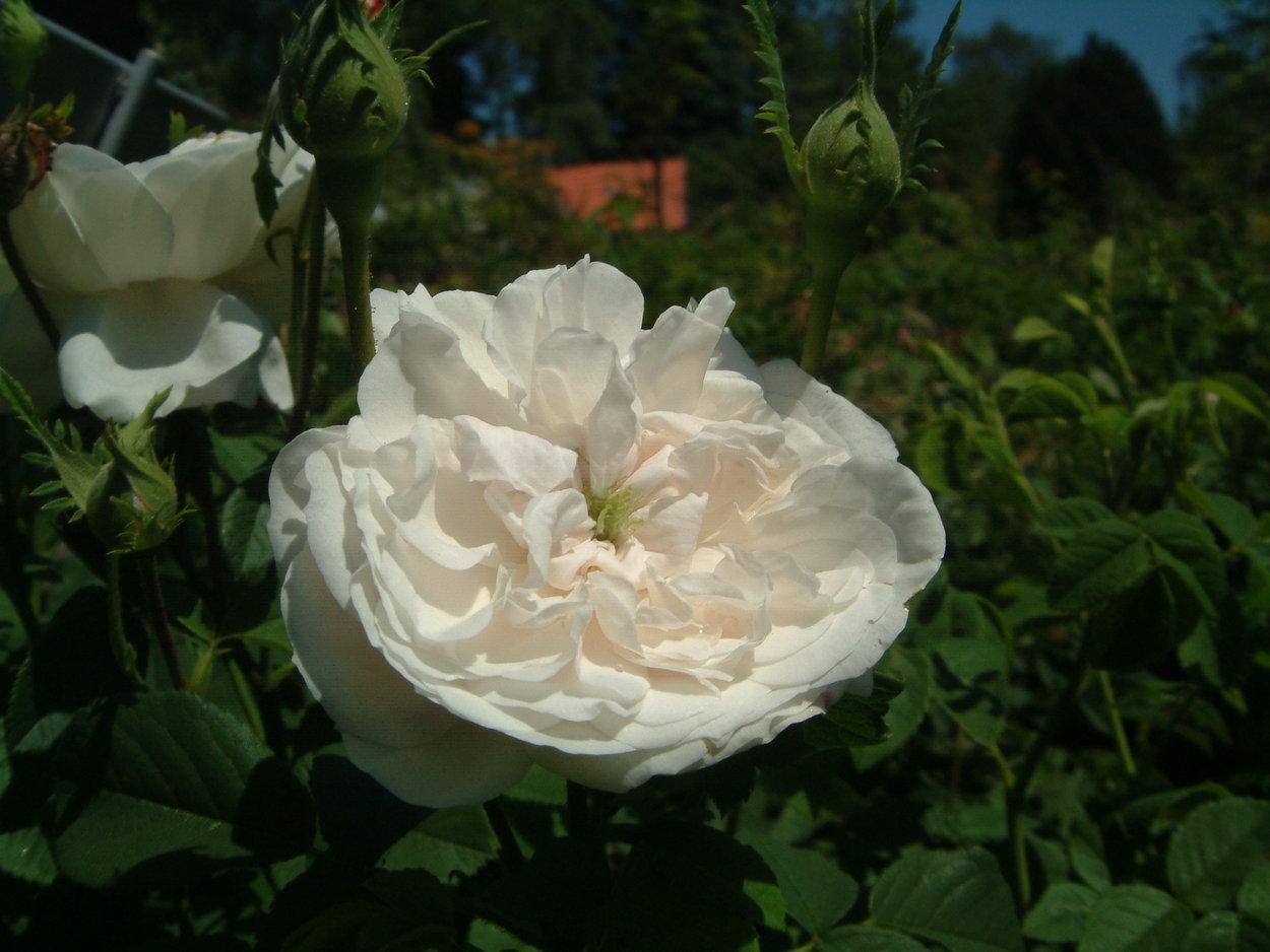 rose 39 mme hardy 39 rosen bei schmid gartenpflanzen online. Black Bedroom Furniture Sets. Home Design Ideas