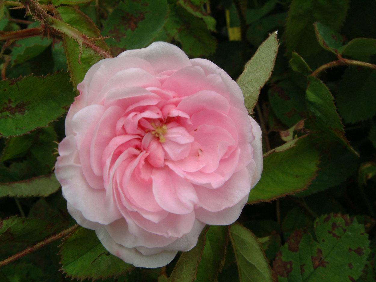 muscosa bilder und erfahrungen zur rose bei schmid gartenpflanzen. Black Bedroom Furniture Sets. Home Design Ideas