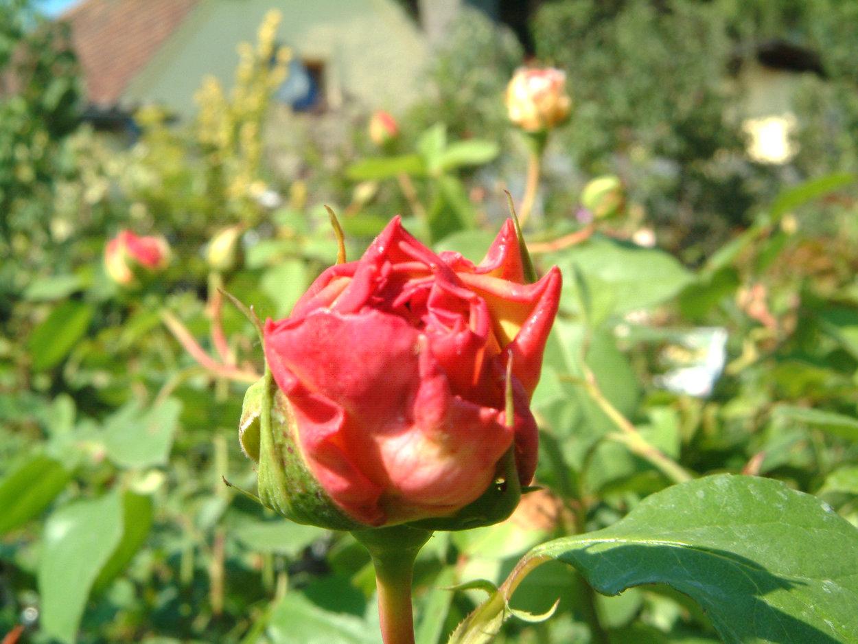 Klettergerüst Rosen : Rose papi delbard rosen bei schmid gartenpflanzen online kaufen