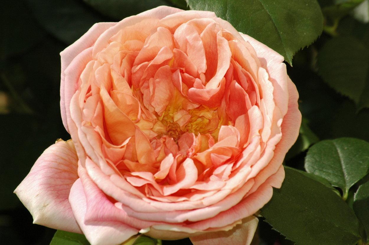 Klettergerüste Für Rosen : Rose papi delbard rosen bei schmid gartenpflanzen online kaufen