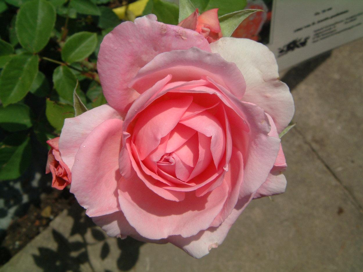 rose 39 radio times 39 rosen bei schmid gartenpflanzen online kaufen. Black Bedroom Furniture Sets. Home Design Ideas