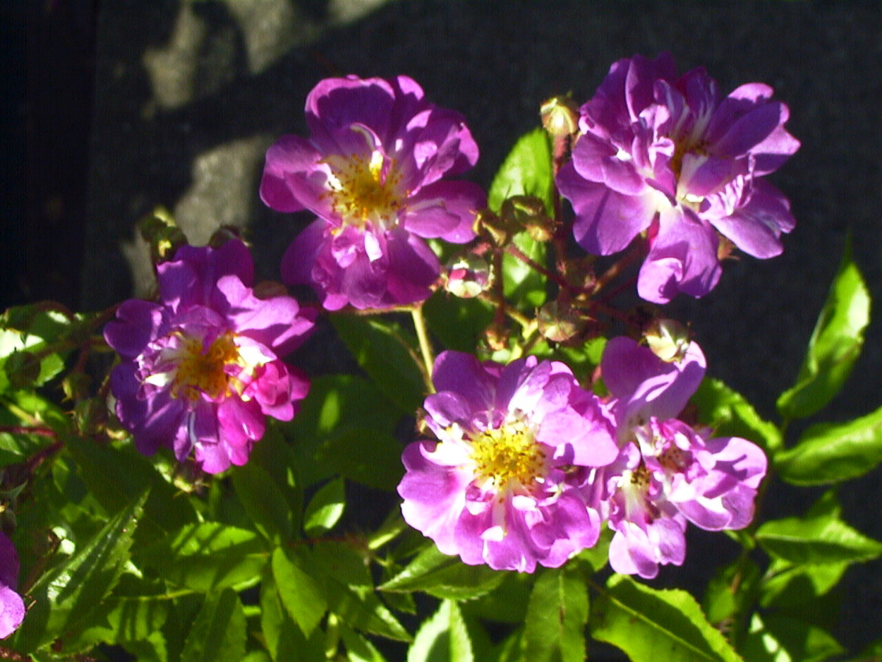 Rose Veilchenblau - Rosen bei Schmid Gartenpflanzen