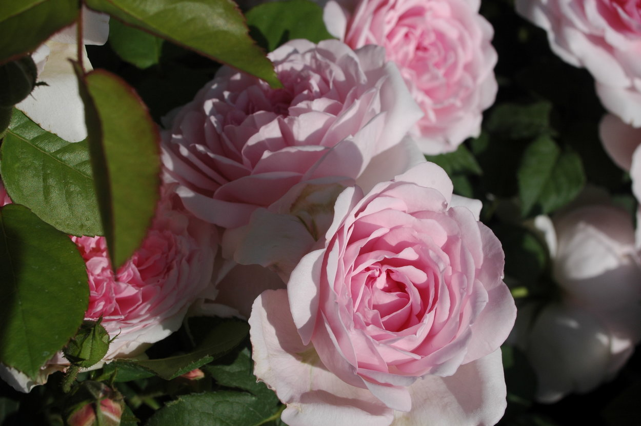 rose wife  bath rosa david austin