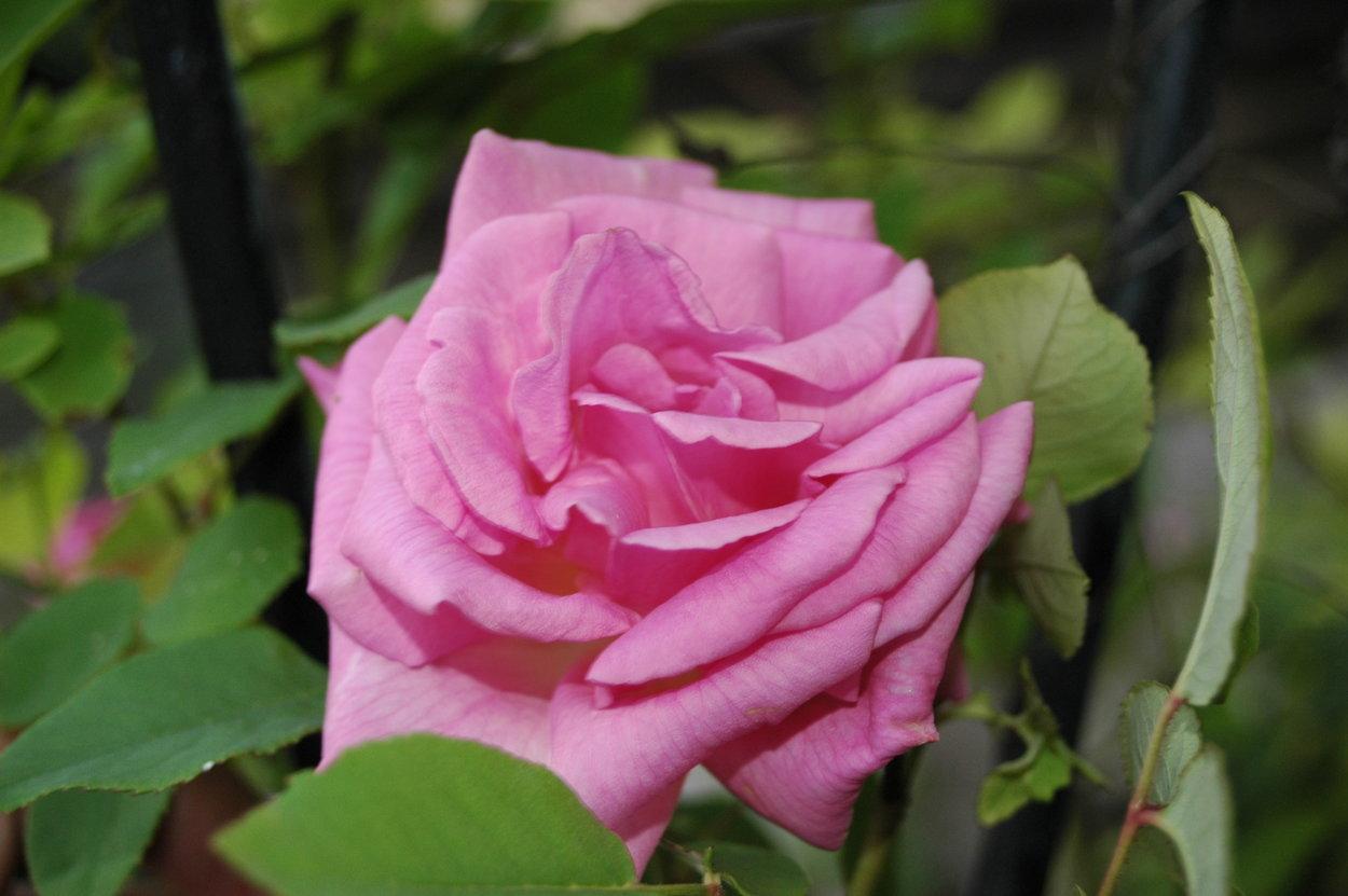 z phirine drouhin bilder und erfahrungen zur rose bei schmid gartenpflanzen. Black Bedroom Furniture Sets. Home Design Ideas