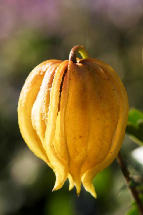 Clematis tangutica 39 bill mackenzie 39 online kaufen www for Gartenpflanzen versand