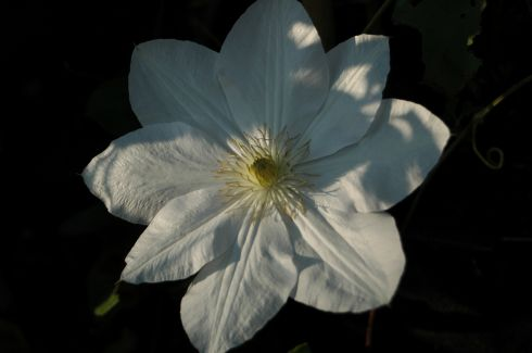 Patens - Clematis 'Mevrouw Le Coultre'