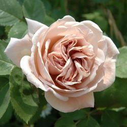 kordes rosen erfahrungsberichte speelwark edelrosen plant o fix kordes rosen gro er test die. Black Bedroom Furniture Sets. Home Design Ideas