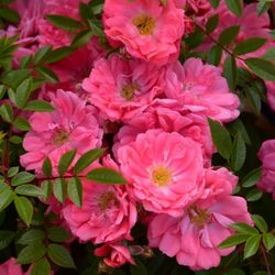 rose ferdy rosen online kaufen bei schmid gartenpflanzen. Black Bedroom Furniture Sets. Home Design Ideas