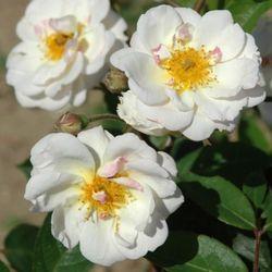 rose trier rosen online kaufen bei schmid gartenpflanzen. Black Bedroom Furniture Sets. Home Design Ideas