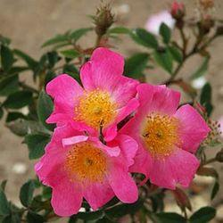 rose canina abbotswood rosen online kaufen bei schmid gartenpflanzen. Black Bedroom Furniture Sets. Home Design Ideas