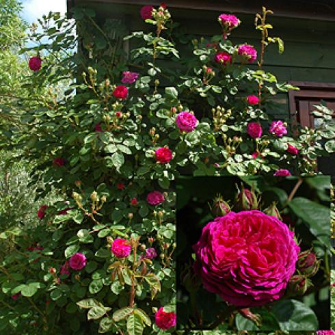 rose gipsy boy rosa borbonica online kaufen bei www. Black Bedroom Furniture Sets. Home Design Ideas