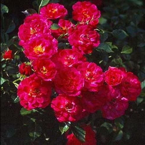 red bells bodendecker rosen. Black Bedroom Furniture Sets. Home Design Ideas