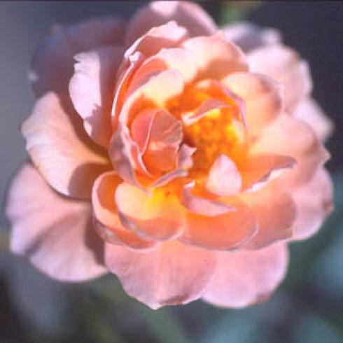 sussex bodendecker rosen. Black Bedroom Furniture Sets. Home Design Ideas